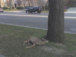 Cheney's Deer 300