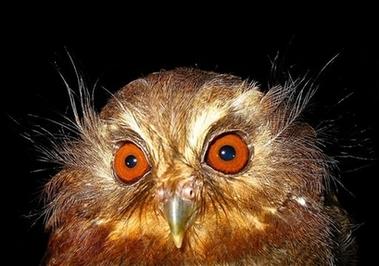 Peru Rare Owl1