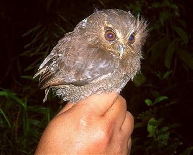 Peru Rare Owl2